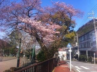 sakura2012zentai.JPG
