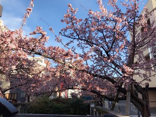 あたみ桜糸川桜祭り1.jpg