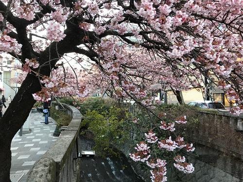 あたみ桜糸川桜祭り2d.jpg