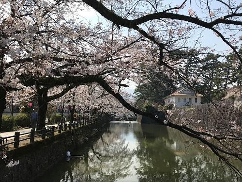 小田原城お堀の桜.jpeg