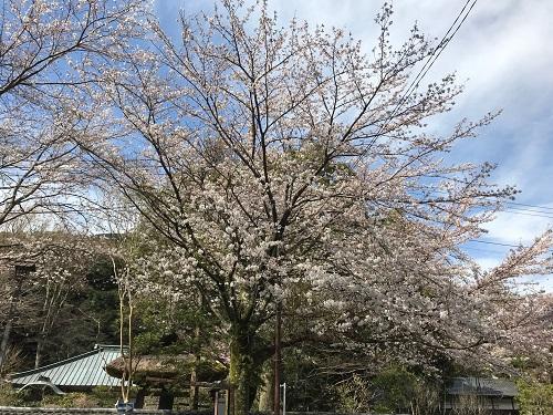 早雲寺の桜.jpeg