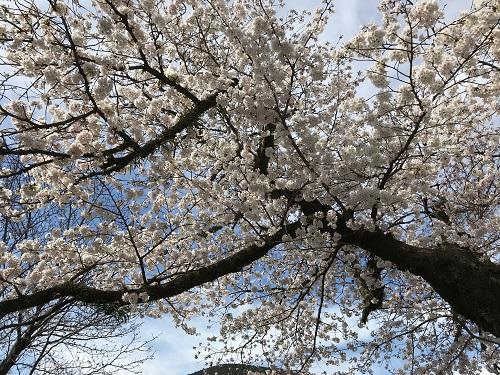 湯本小学校の桜.jpeg